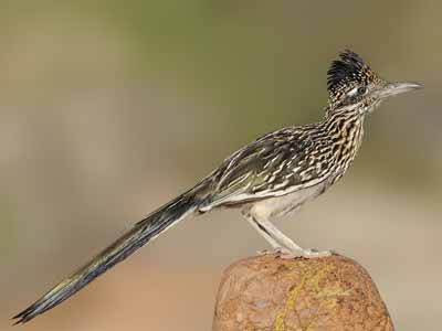 New Mexico State Bird